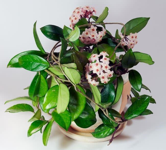 Hindu Rope Plant Hoya carnosa Compacta flowering houseplants