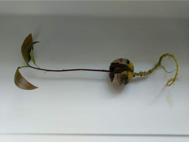 algae on roots of young avocado tree