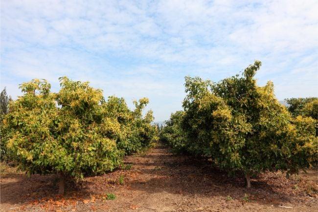 mature avocado trees
