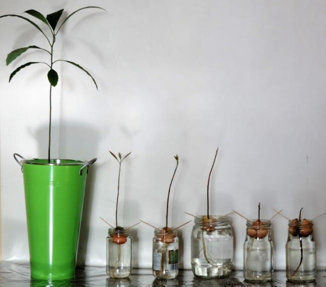 grow avocado from seed by toothpick method