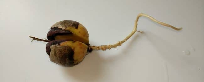 avocado seed with roots and shoot