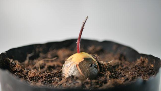 avocado seed grown in soil