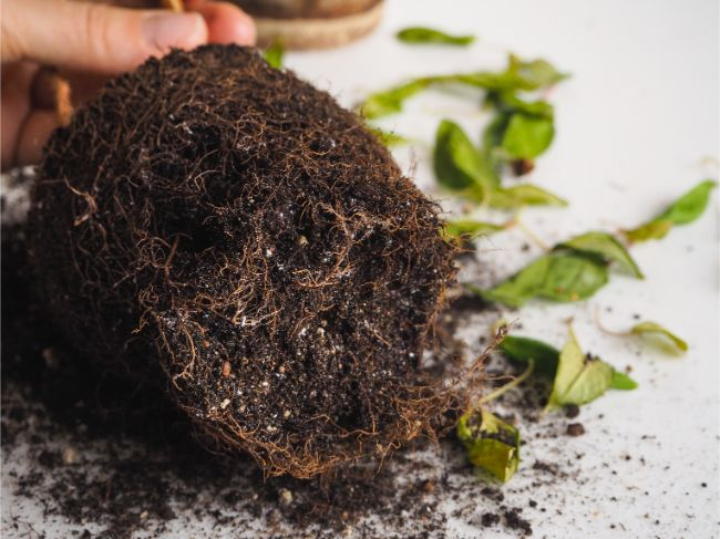 how to identify, fix and prevent root rot