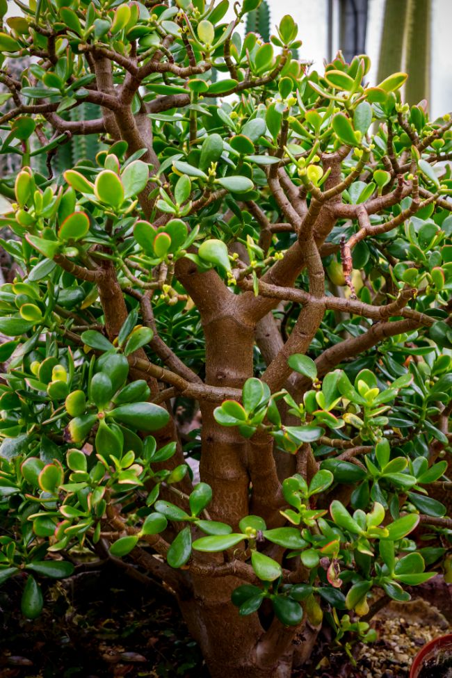 mature and healthy jade plant crassula ovata