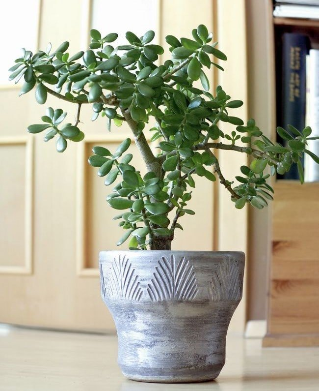 jade plant care crassula ovata