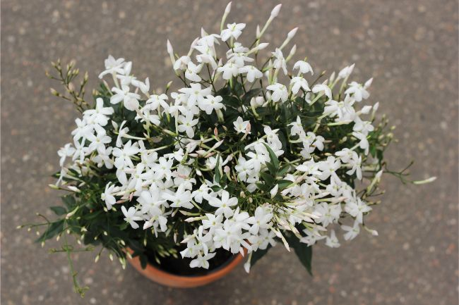 Jasmine flowering houseplants