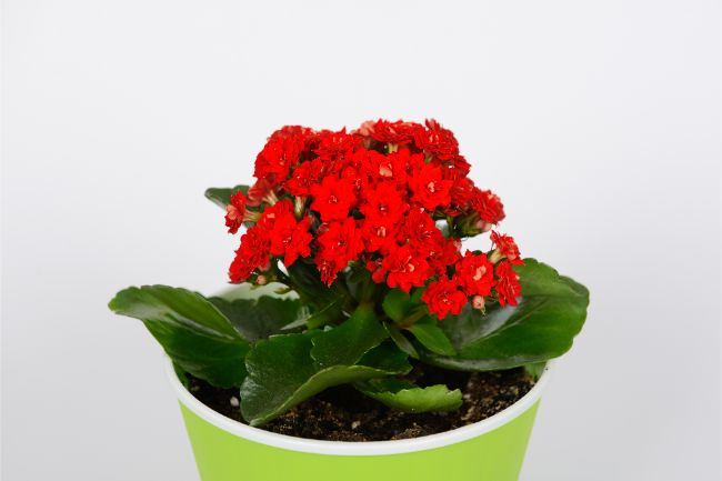 Flaming Katy Kalanchoe blossfeldiana flowering houseplants