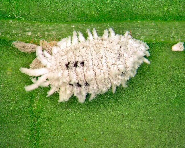 mealybug on houseplant leaf