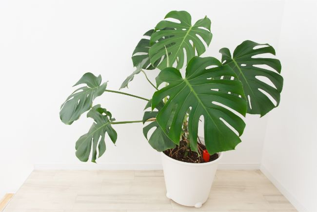 monstera deliciosa east facing window plants