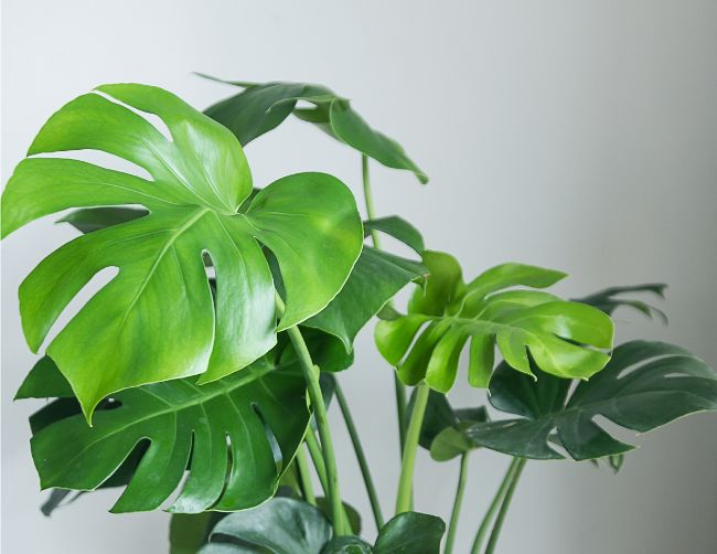 swiss cheese plant monstera deliciosa large low light houseplants