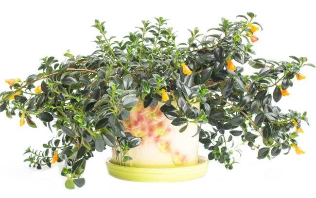 Guppy Plant Nematanthus