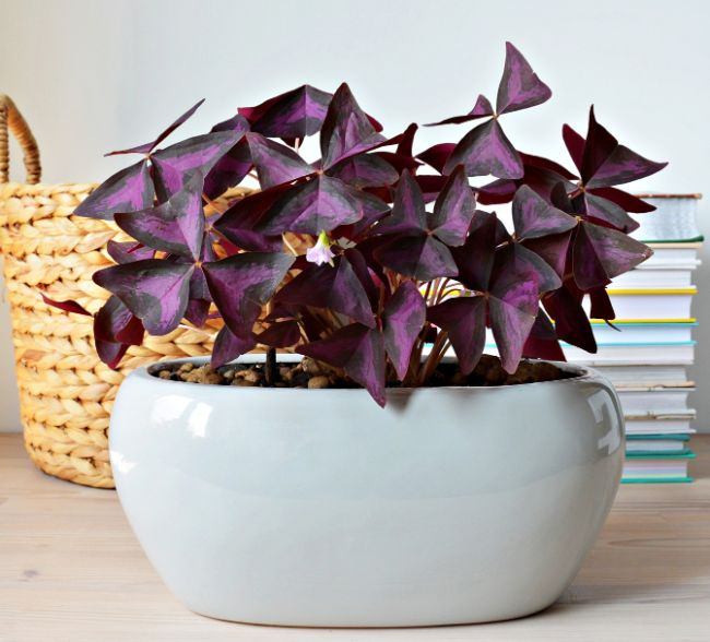 purple shamrock oxalis triangularis east facing window plants