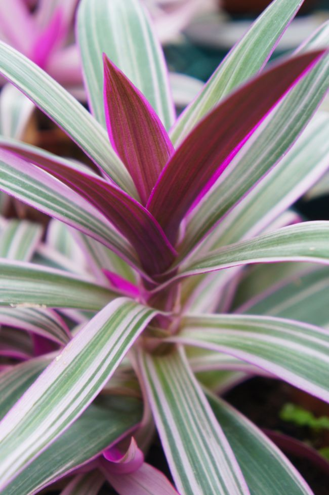 oyster plant care tradescantia spathacea tricolor