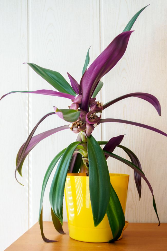 Tradescantia spathacea moses-in-the-cradle boat lily plant