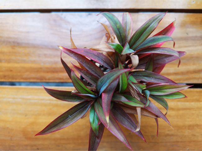 oyster plant brown leaves boat lily rhoeo plant
