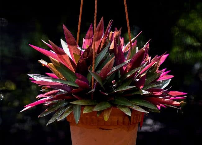 oyster plant care tradescantia spathacea