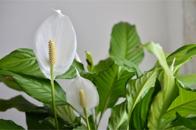 peace lily flowering indoor plants