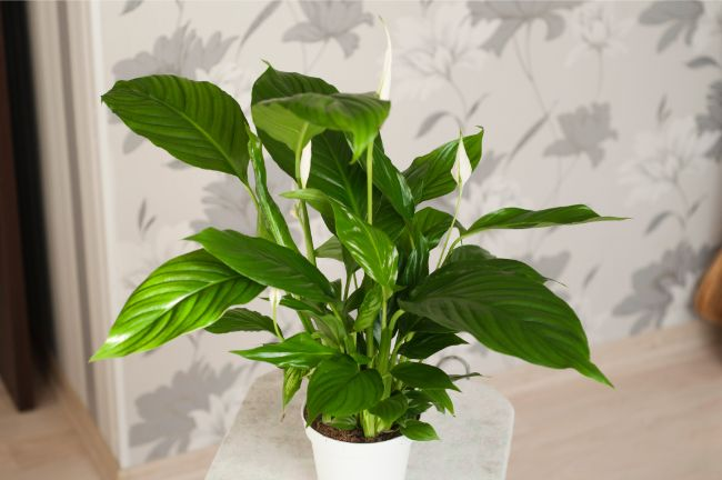 Peace Lily Spathiphyllum Wallisii large low light houseplants