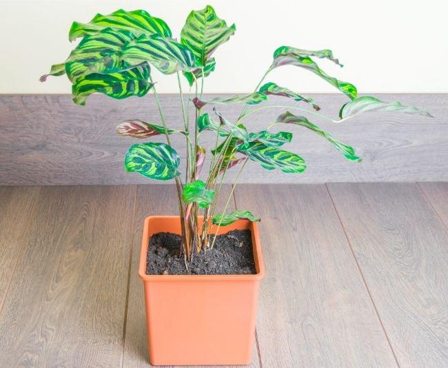 calathea makoyana in planter