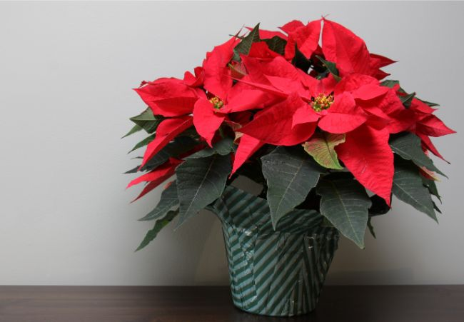 poinsettia flowering houseplants