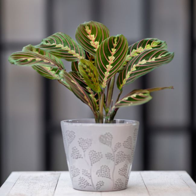 prayer plant maranta leuconeura east facing window plants
