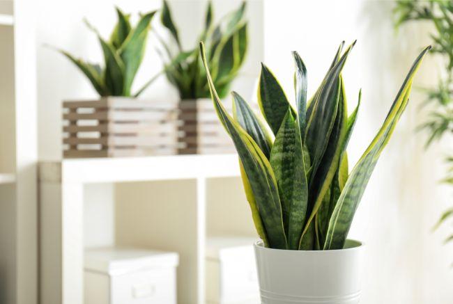 snake plant sansevieria trifasciata
