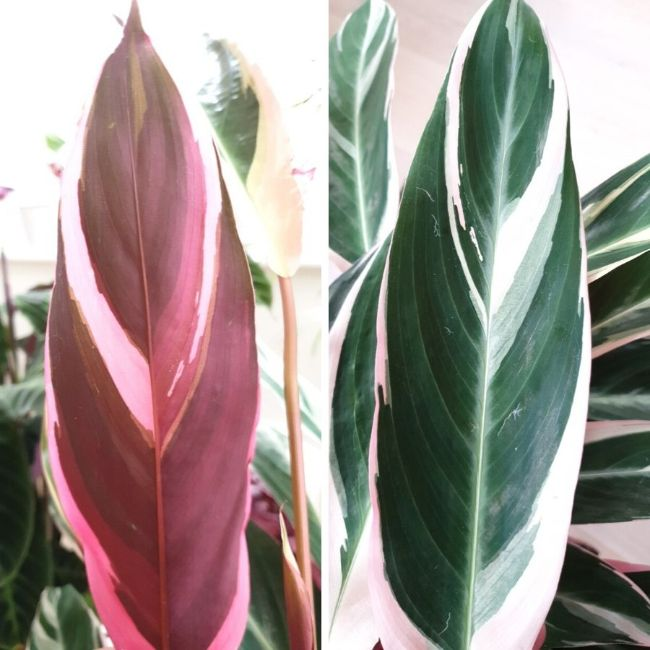 back and front of stromanthe triostar leaf