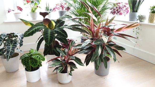 stromanthe triostar plants with other houseplants
