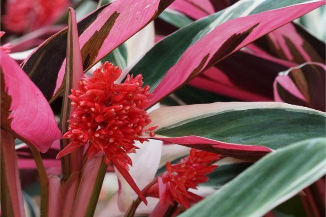 flowers of stromanthe triostar