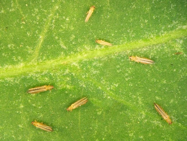 thrips on houseplant leaf