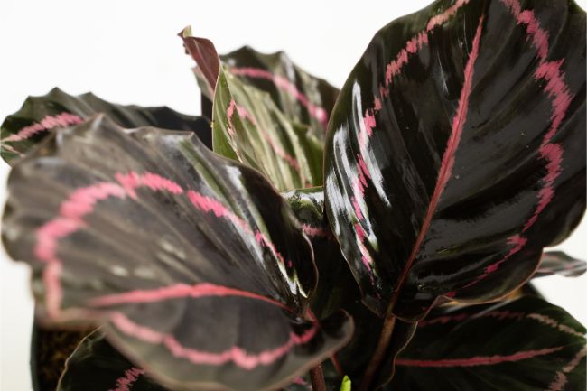Calathea roseopicta 'Dottie' calathea varieties