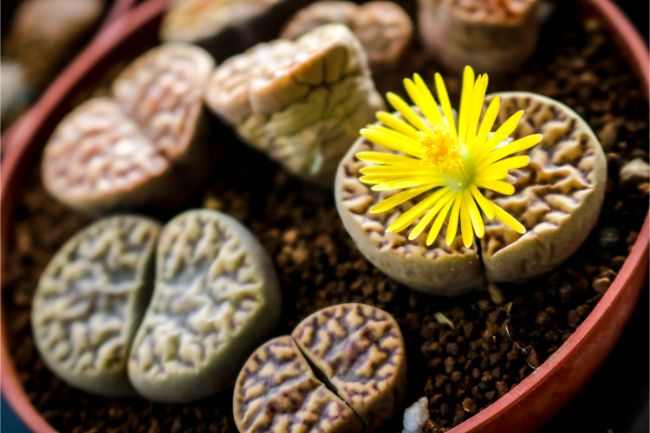lithops living stones unusual houseplants