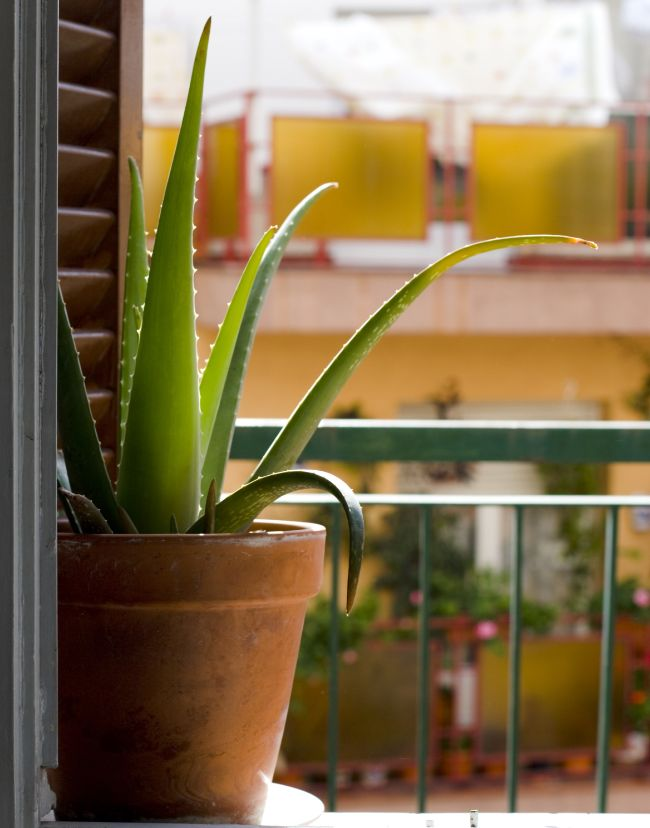 acclimatize aloe vera plant to outdoors to prevent brown leaves