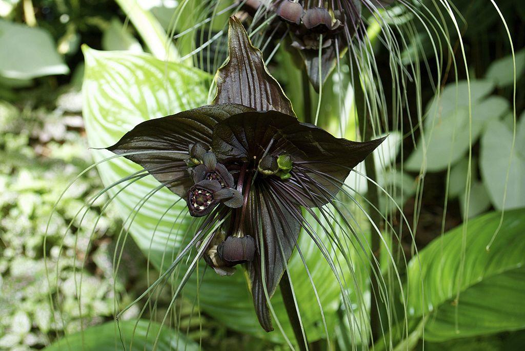 Bat Flower tacca chantrier