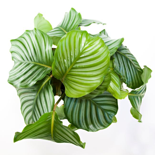 calathea orbifolia calathea varieties