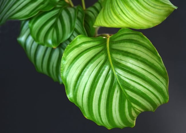 calathea orbifolia leaf