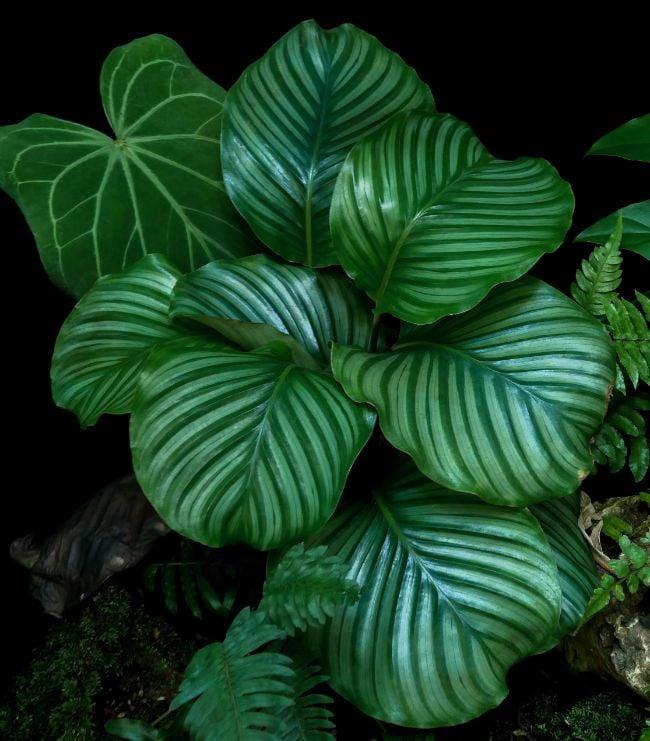 calathea orbifolia in natural habitat