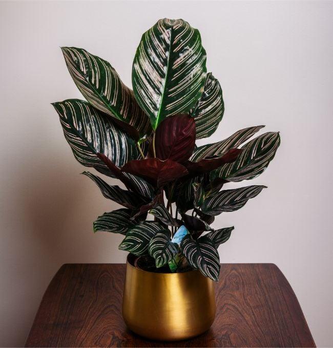 Calathea ornata 'Sanderiana'