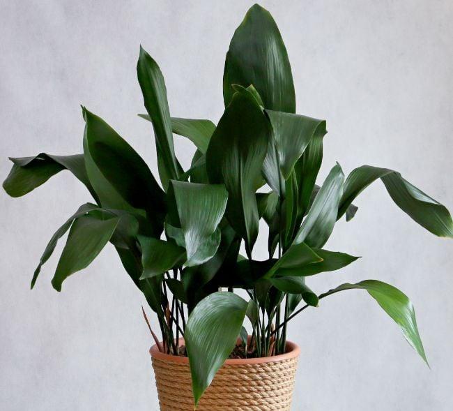 cast iron plant hard to kill houseplants