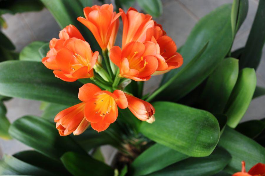 Clivia Care How To Grow A Kaffir Lily Smart Garden Guide