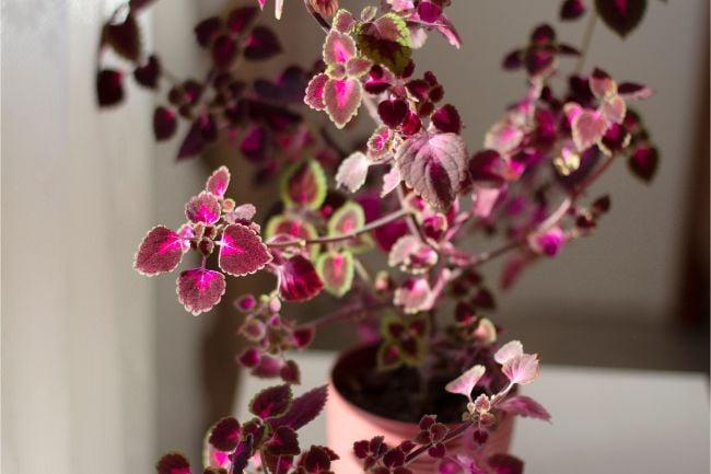 coleus plant care indoors