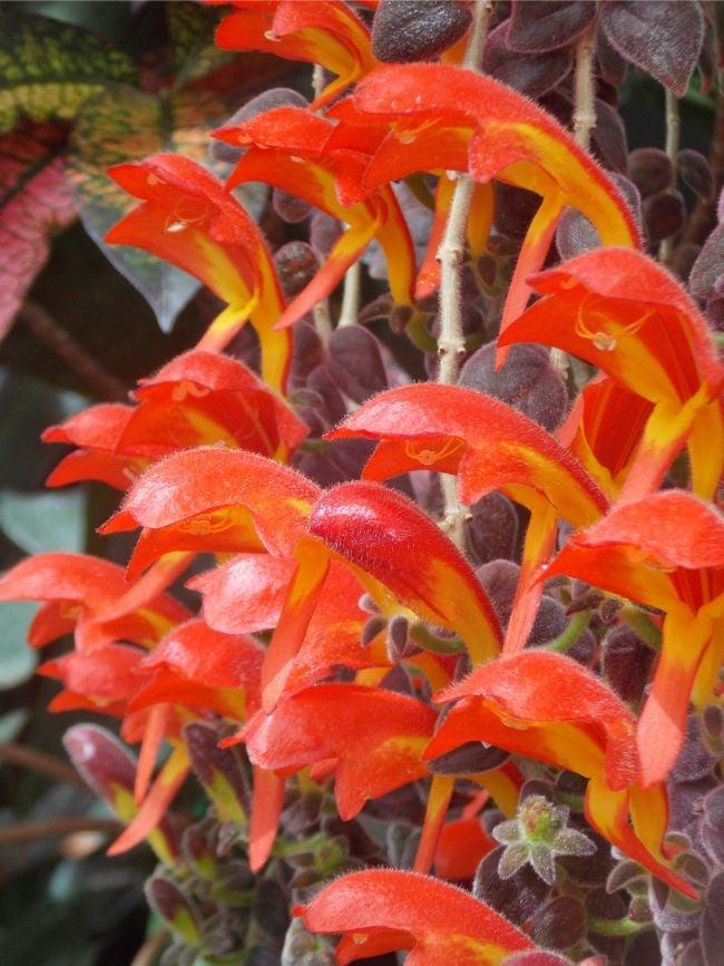 goldfish plant care columnea gloriosa