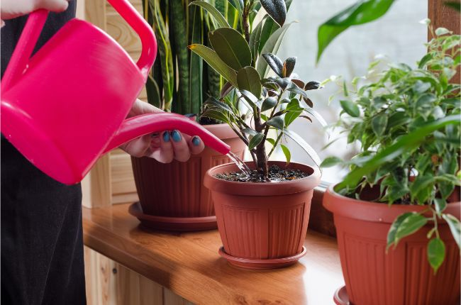 how to fix an overwatered plant