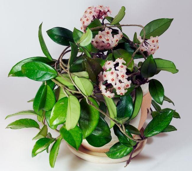 hoya carnosa compacta is an easy care houseplant