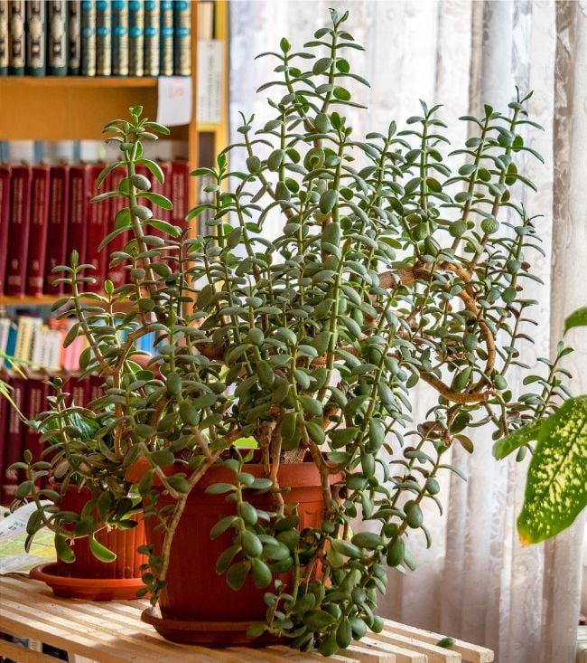 jade plant drooping crassula ovata