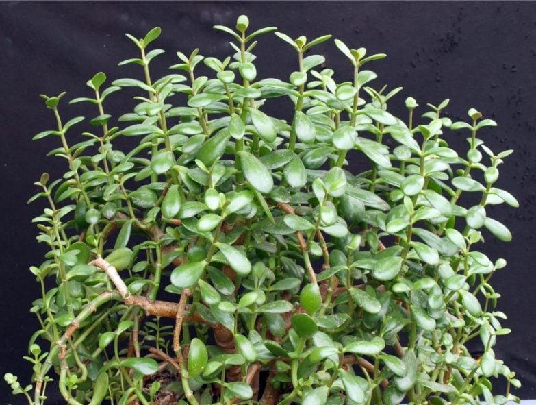 jade plant drooping