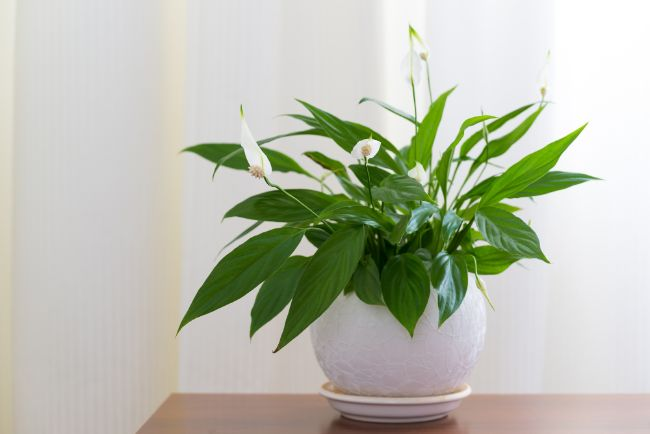 peace lily houseplants are easy to care for and tolerate neglect