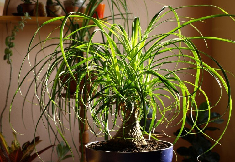 ponytail palm safe for cats