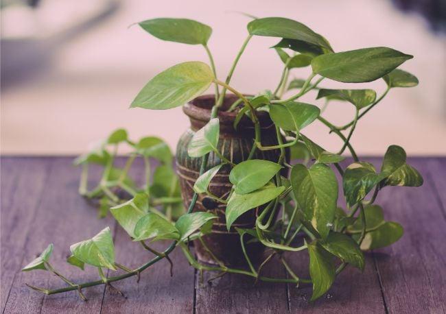 pothos is a hard to kill houseplant