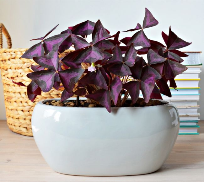 purple shamrock oxalis triangularis